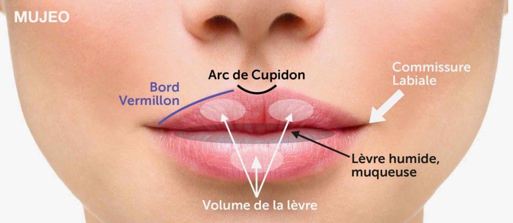 Anatomie de la lèvre